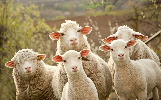 French sheep