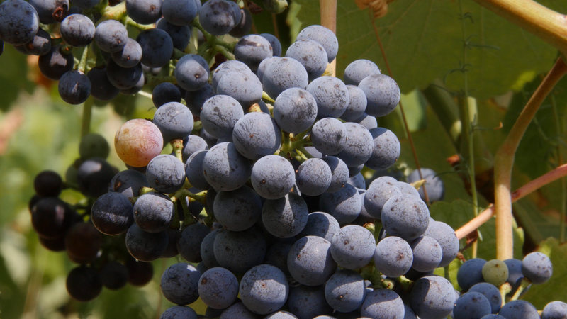 France outlawed these grapes in the 1930s.