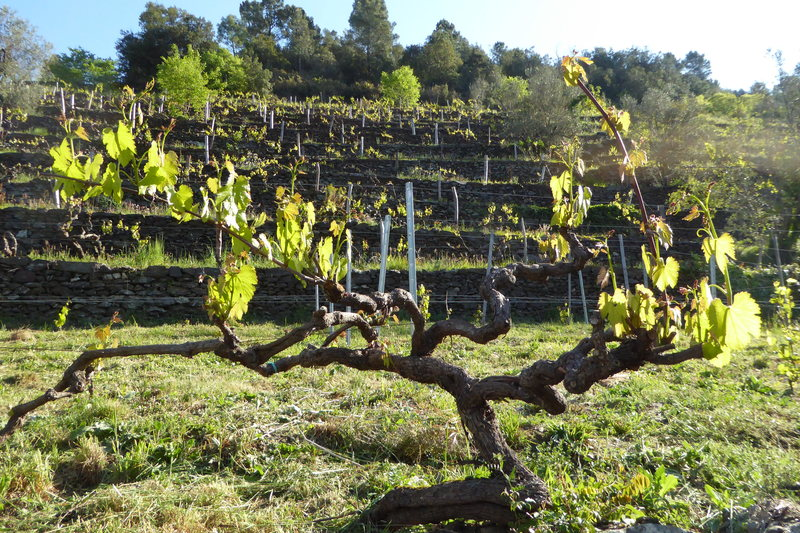 Beaumont's vines are a European-American hybrid.