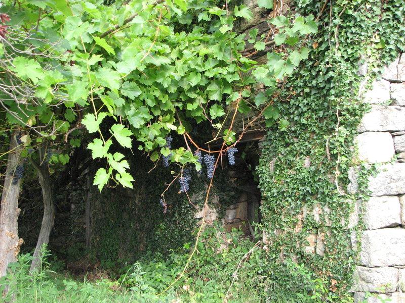 More forbidden grapes growing at a vineyard near Beaumont.