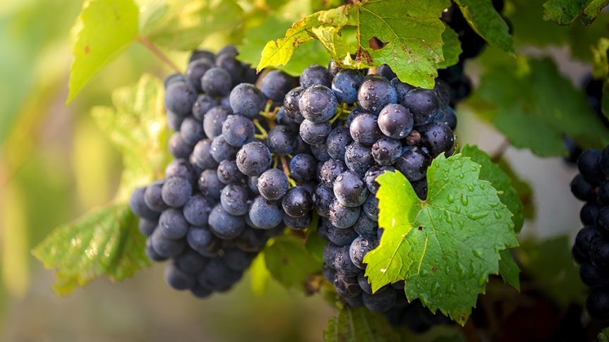 Beaujolais is made from Gamay grapes, like these.